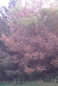 Scotch pine affected with Pine Wilt