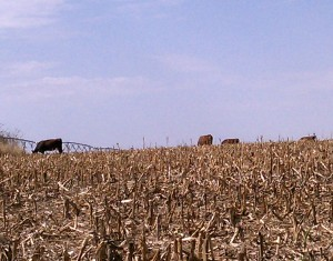 Cattle in Irrigated Cornstalks