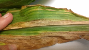"Goss' Wilt in Corn in Nebraska with characteristic black ""freckles""."