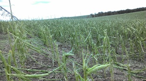 Severely damaged corn