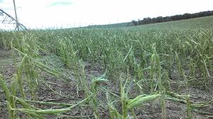 Severely damaged corn