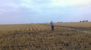 Hail damaged soybeans turning brown.  Dr. Jim Specht examining field and taking pictures.