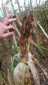 Hail Damaged Corn with fungal growth.