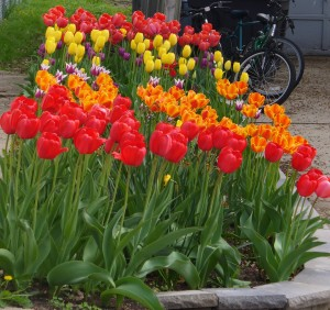 Tulips along the side of our house.