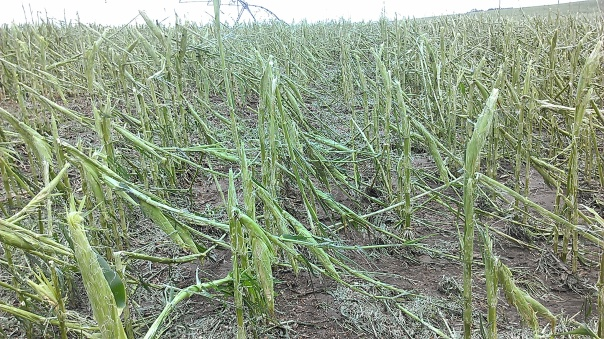 Field on August 2nd that was totaled out and planted to cover crops.