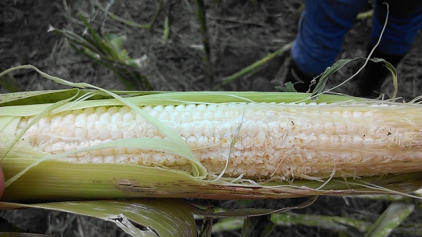 Corn on August 2nd in blister stage in which hail stones made kernels all mushy on one side of the ears.