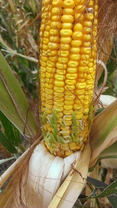 """33 days after the storm, kernels on the """"good"""" side of ears were beginning to sprout."""