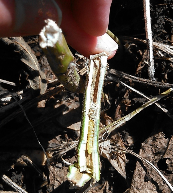 Gently pulling apart the base of the stem reveals the soybean stem borer larva beginning to pupate.  The larva will spend the winter pupating here and emerge as an adult beetle next year.