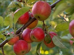 Apple tree.  Photo courtesy ext100.wsu.edu