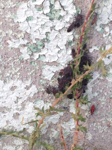 Boxelder bugs gathered together on a home's foundation.