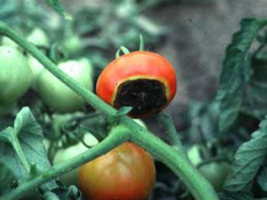 Blossom end rot on tomato. Maintain consistent moisture, try mulching tomatoes first. Don't reach for the Epsom salts.