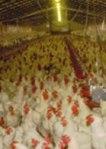 Photo courtesy Nebraska Extension Poultry page: https://animalscience.unl.edu/anscextensionpoultry