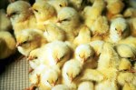 Photo Courtesy Nebraska Extension Poultry website.