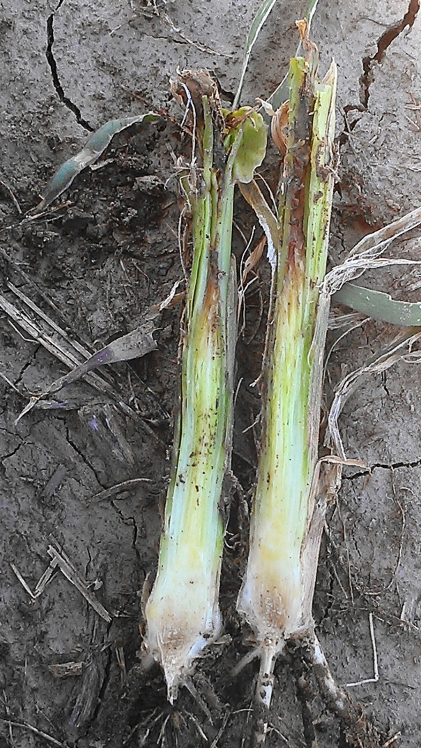 In this corn plant, a bacterial rot has set in as can be seen from the discoloration at the upper portion of this plant and the discoloration at crown area.  This plant may not survive.  This is typical of what we were seeing in Nuckolls/Thayer counties with the 8-10