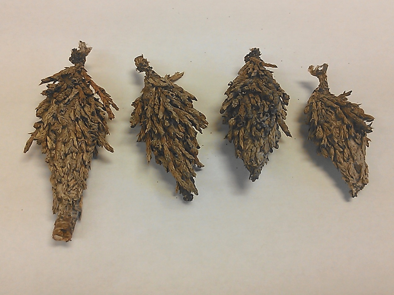 Bagworms in Evergreens | JenREESources's Extension Blog