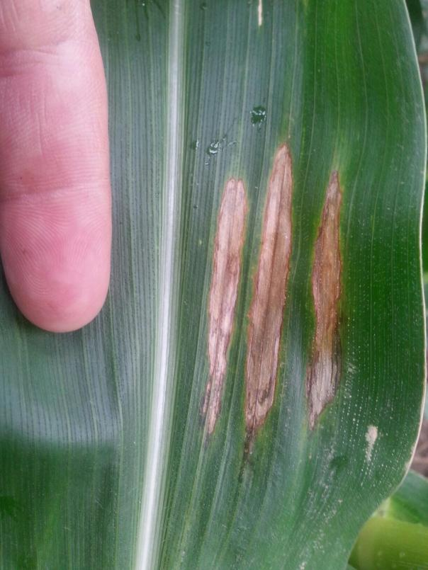 Northern corn leaf blight is a disease we're hearing a lot about but I have yet to see it in our area.  Most have been mistakingly calling the unknown bacterial disease shown above northern corn leaf blight, but there's truly a difference as you see these photos.  Compared to gray leaf spot, northern corn leaf blight will be more cigar-shaped instead of forming a rectangle.  As this photo taken from the Mead, NE area shows, lesions are often forming in close proximity to each other on the leaves in Nebraska right now.  This disease is one to watch as it has been expanding on certain hybrids in some fields, particularly in eastern, Nebraska.  However, I still haven't seen it in our area and haven't received any confirmations of it being found in our area.