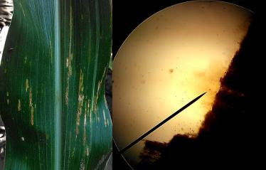 bacterial leaf streak