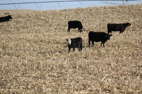 cattle in corn stalks