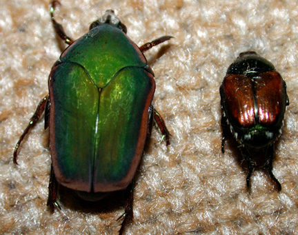green june beetle vs japanese beetle-purdue