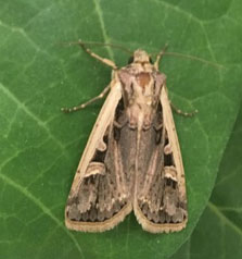 western-bean-cutworm-update-fig1.jpg