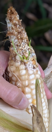 Sprouting and kernel damage due to moisture and insects.
