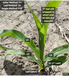 Corn growth stage-Rees