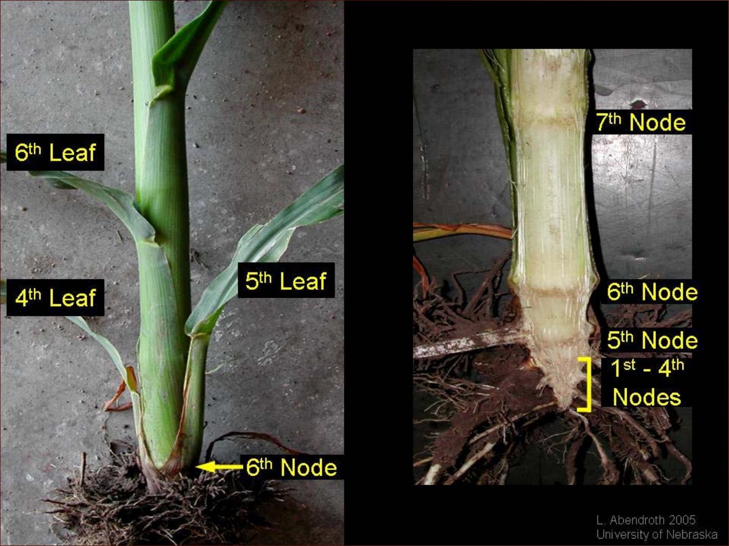 1-6 corn nodes-Lori Abendroth